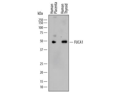 Tissue alpha-L-Fucosidase / FUCA1 Antibody