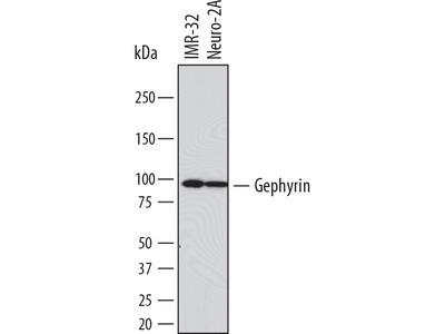 Gephyrin / GPHN Antibody