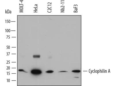 Cyclophilin A Antibody