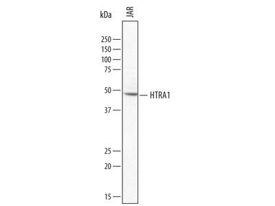 HTRA1 / PRSS11 Antibody