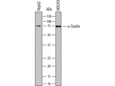 Human alpha-Taxilin Antibody