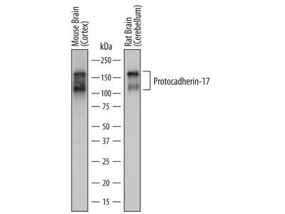 Human / Mouse / Rat Protocadherin-17 Antibody