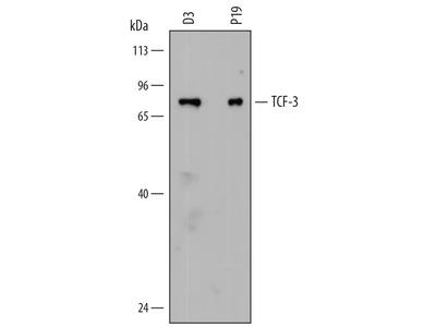TCF-3 / E2A Antibody