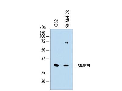 Human SNAP29 Antibody