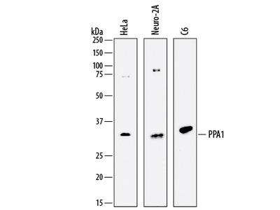 Inorganic Pyrophosphatase / PPA1 Antibody
