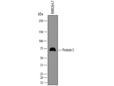 Protein S / PROS1 Antibody