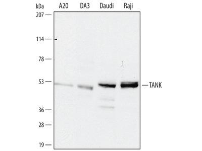 TANK Antibody