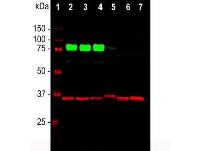 Rabbit Polyclonal MARCKS Antibody