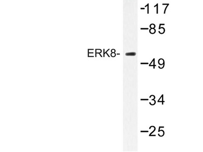 MAPK15 / ERK7 Antibody