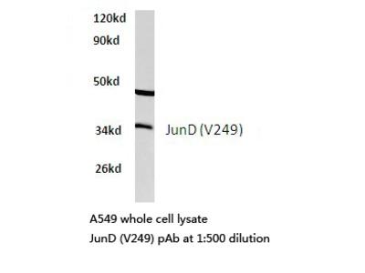 AP-1 / JUND Antibody