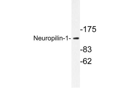 NRP1 / Neuropilin 1 Antibody