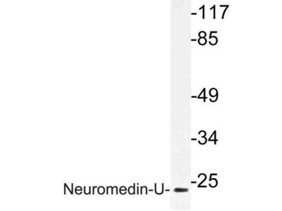 NMU / Neuromedin U Antibody