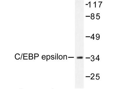 C/EBP Epsilon / CEBPE Antibody