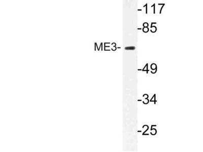 ME3 Antibody