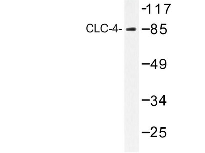 CLCN4 / CLC-4 Antibody
