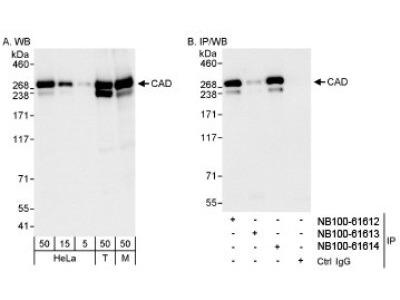 CAD Antibody