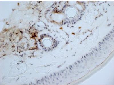 Rat Monoclonal Aminopeptidase N / CD13 Antibody