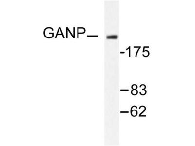 MCM3AP / GANP Antibody