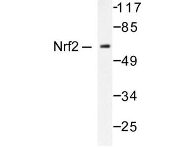 NFE2L2 / NRF2 Antibody