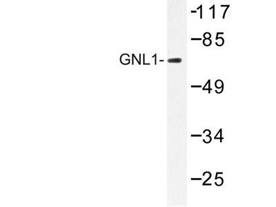 GNL1 Polyclonal Antibody