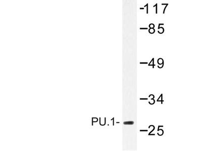 SPI1 / PU.1 Antibody