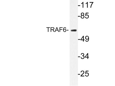 TRAF6 Antibody
