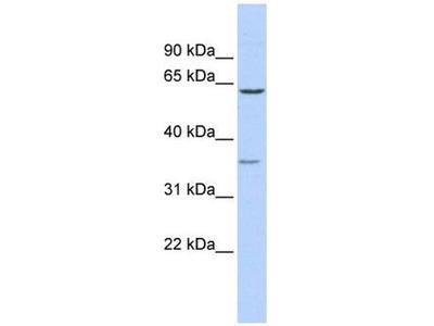 anti-GBAS Antibody