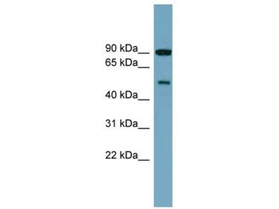 anti-Phosphatidylinositol 4-Kinase Type 2 beta (PI4K2B) antibody