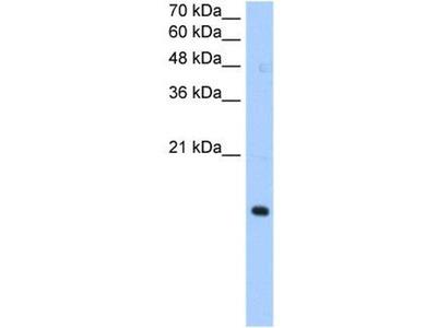 anti-Paired Immunoglobin-Like Type 2 Receptor alpha (PILRA) antibody