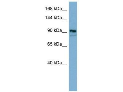 anti-ESYT2 antibody
