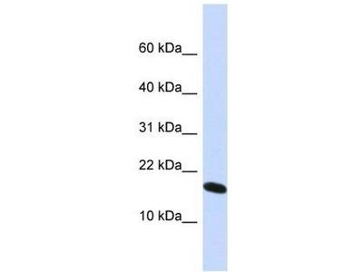 anti-HIST1H2AH (H2AFX) antibody