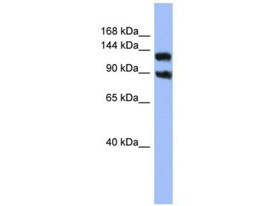 anti-Potassium Voltage-Gated Channel, Subfamily H (Eag-Related), Member 3 (Kcnh3) antibody