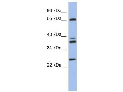 anti-atp6v1aa (vacuolar proton pump3) antibody