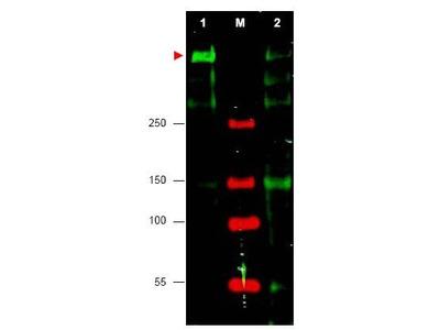 anti-ATR antibody