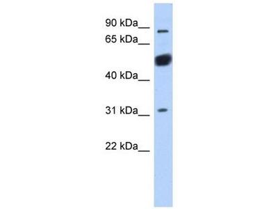 anti-BEND2 antibody