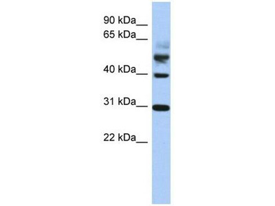anti-TTL (tubulin tyrosine ligase) antibody