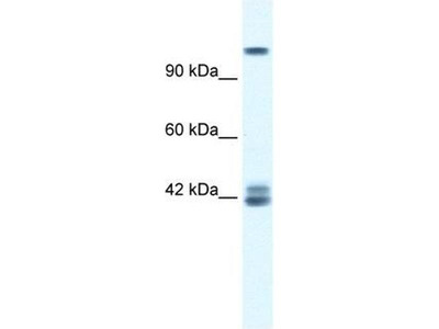 anti-GRIN2C antibody