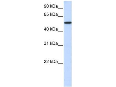 anti-KPNA3 antibody