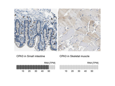 Anti-CPA3 Antibody