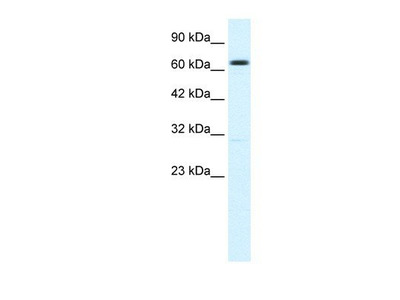 anti-Potassium Intermediate/small Conductance Calcium-Activated Channel, Subfamily N, Member 2 (KCNN2) antibody