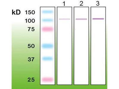 anti-prkcda (PKCd) antibody