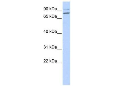 anti-PLCD1 Antibody