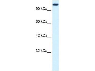anti-Kinesin Family Member 3C (KIF3C) (Middle Region) antibody
