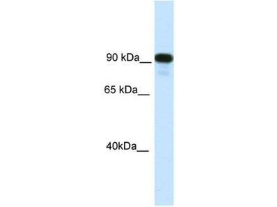 anti-class II transactivator (CIITA) antibody