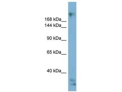 anti-exophilin 5 Antibody