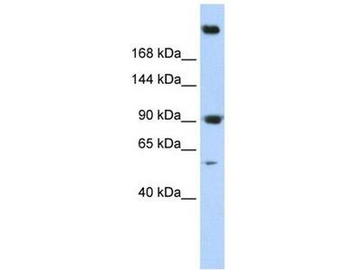 anti-SPTAN1 (spectrin alpha 2) antibody