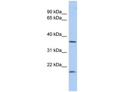 anti-Methylenetetrahydrofolate Dehydrogenase (NADP+ Dependent) 2-Like (MTHFD2L) antibody