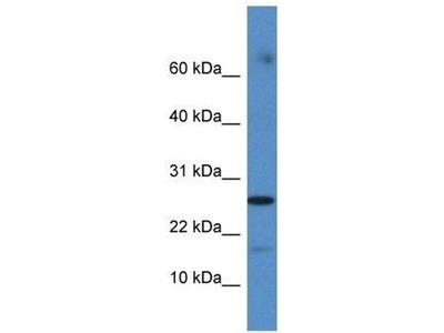 anti-COX20 (FAM36A) antibody
