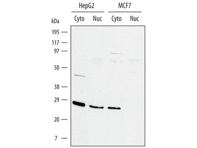 ID1 Antibody
