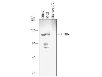 PTPN14 Antibody